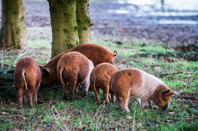 buitenvarkens buitenvarken scharrelvarken eerlijk varkensvlees bosvarkens zwijnvarkens wild zwijn