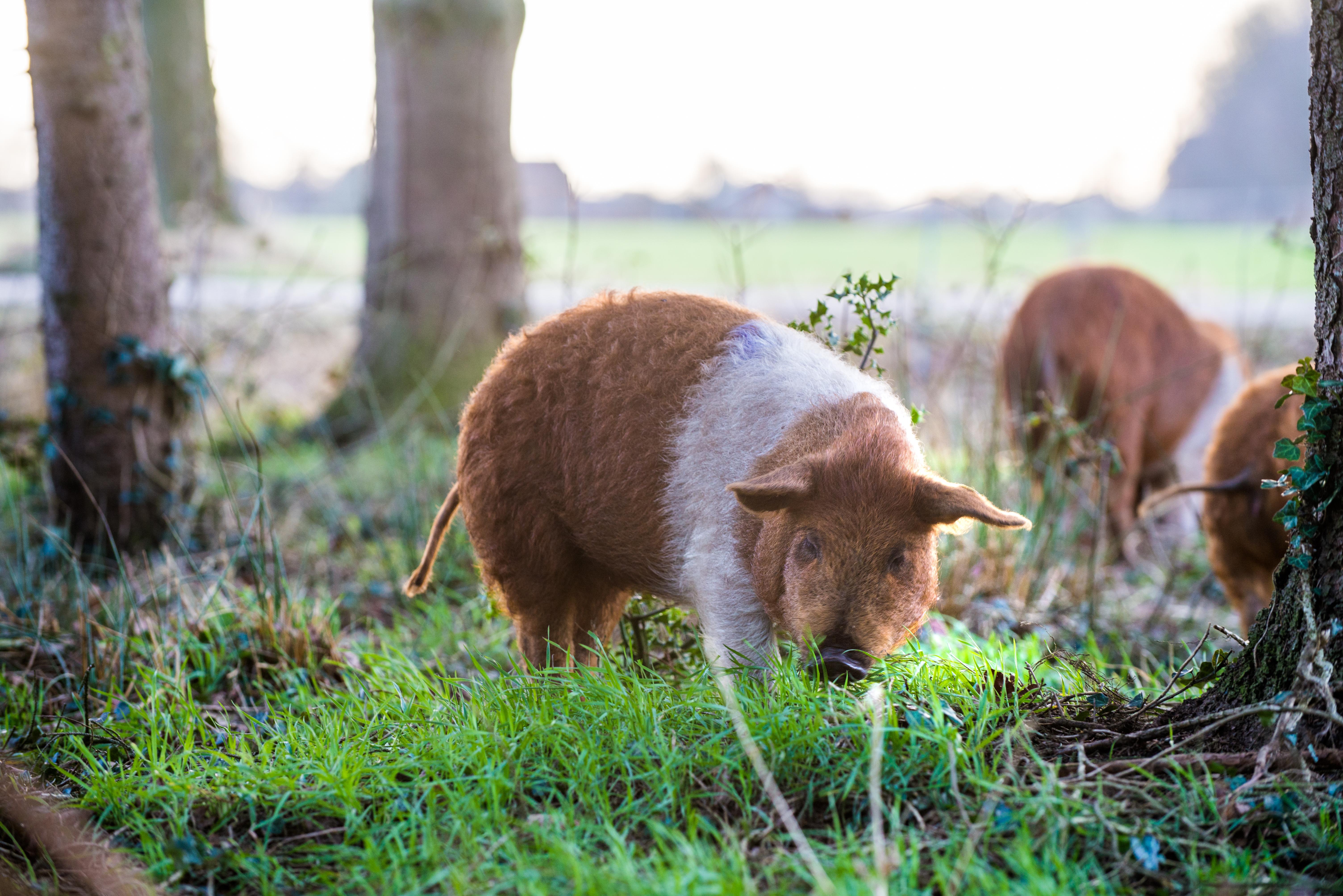 Buitenvarkens biologisch vlees de Goed Gevulde Spaarvarkens