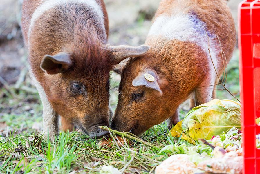 buitenvarkens buitenvarken scharrelvarken eerlijk varkensvlees