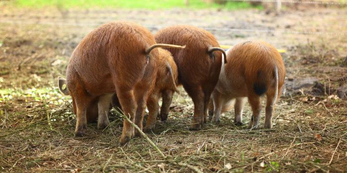 workshop varkens houden