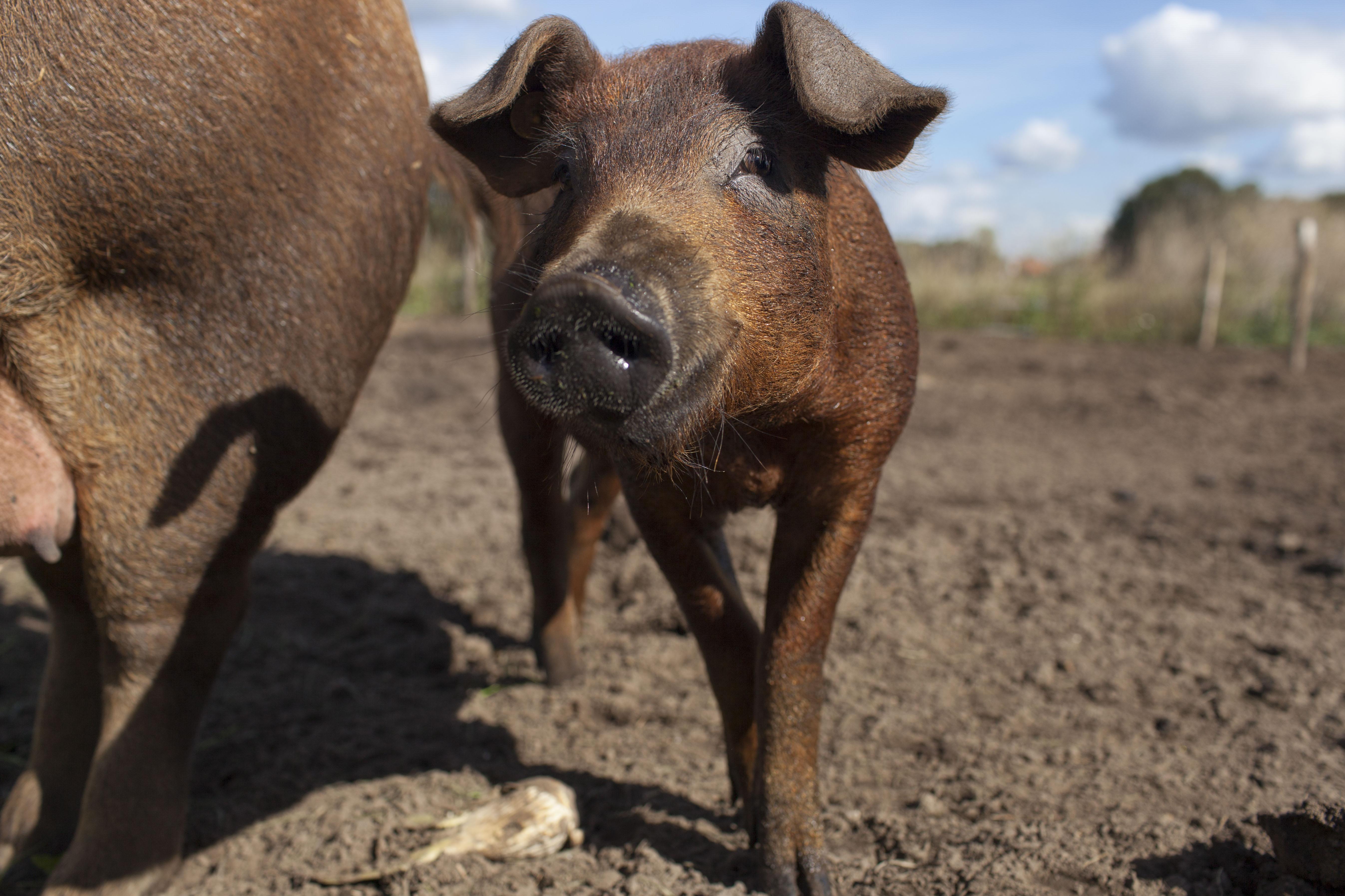 duroc varkensvlees