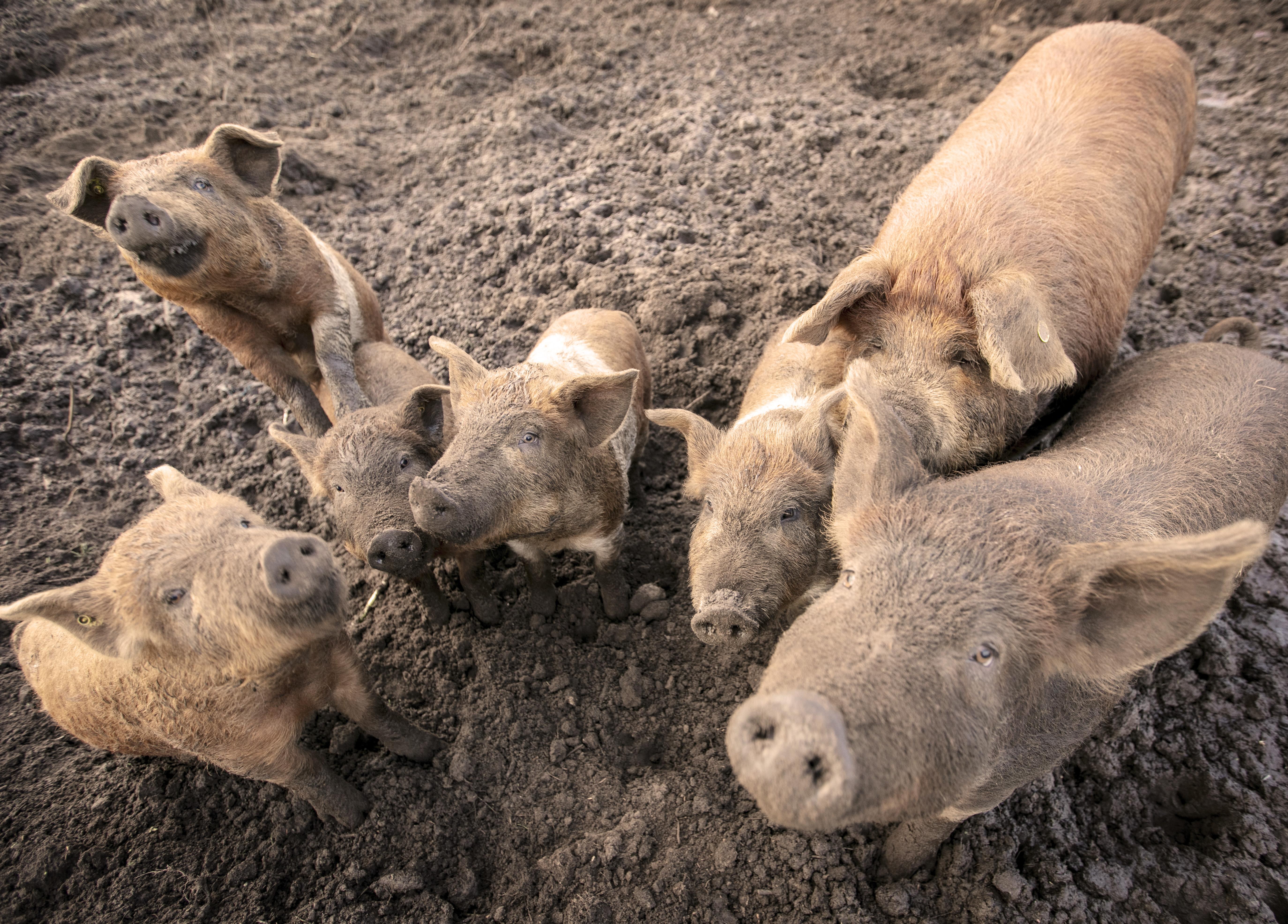 workshop varken houden