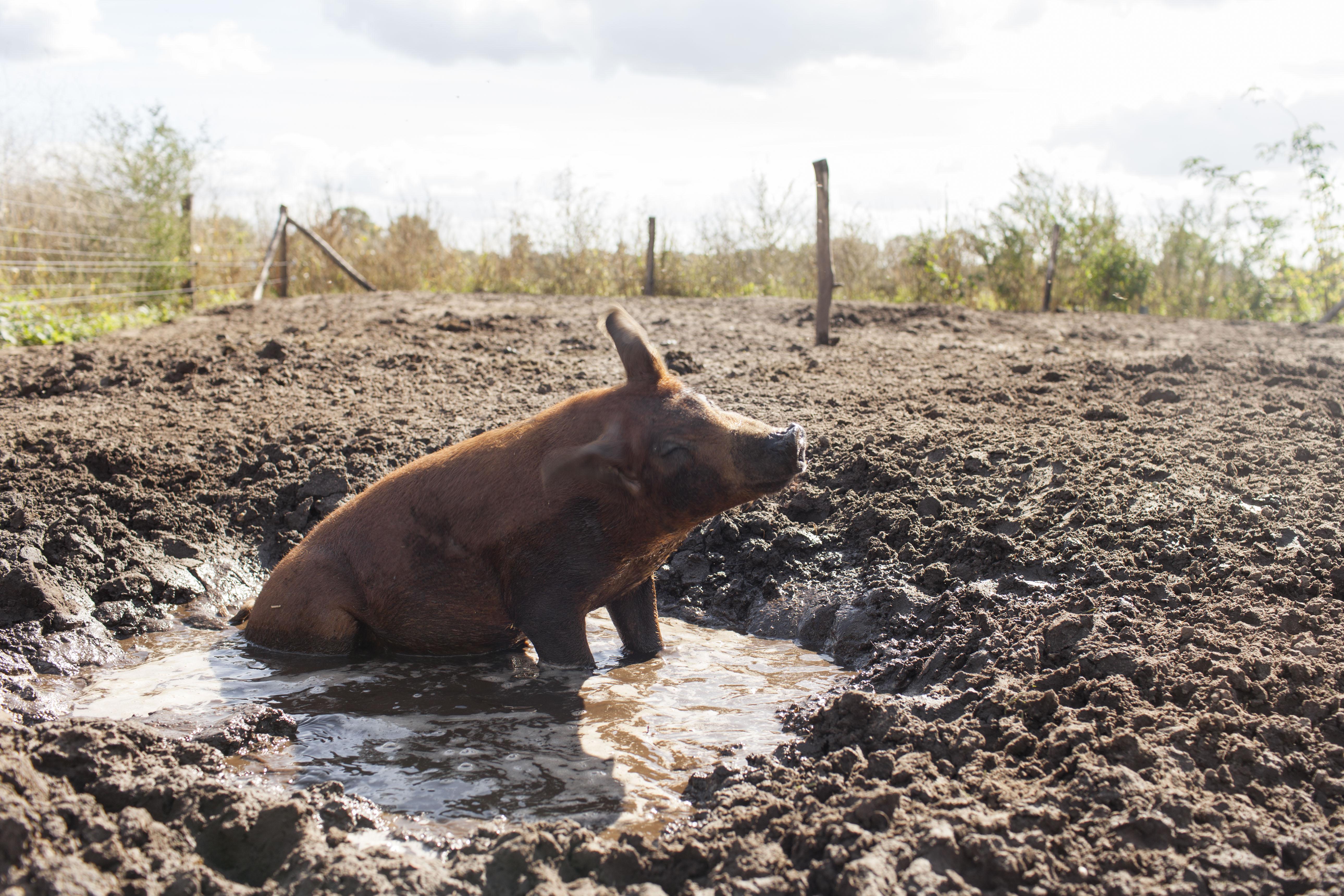 scharrelvarken buitenvarken varken big vlees eerlijk heerlijk biologisch open dag open stal dagje uit uitje kinderen kids workshop