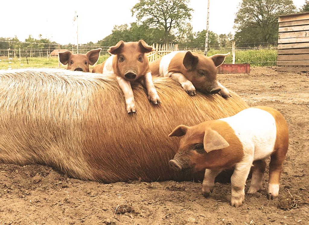 adopteer een varken